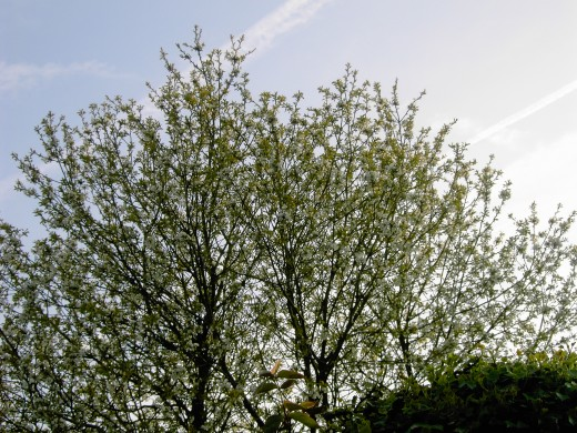 TREES SUCH AS THE PEAR TREE ARE IMPORTANT FOR MANY SPECIES.