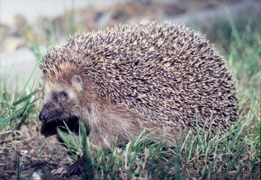 hedgehogs rid the garden of slugs and snails. picture courtesy of Olaf 1541