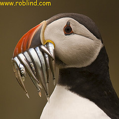 The rare Puffin with a catch of Sand Eels. Footpaths lead past their nesting site along the cliff top/             This photo courtesy Flickr