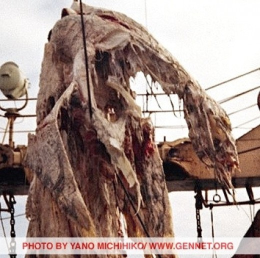 Dragon/Dinosaur pulled up by Japanese fishing vessel