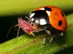 Useful facts about ladybirds and lacewings