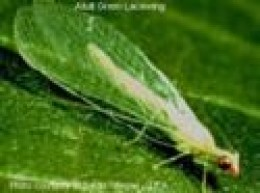 Lacewing Larvae can consume over 250 aphids