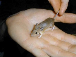 Here is a full grown pygmy mouse.The African Pygmy Mouse also known as just the pygmy mouse or pygmy mice is the smallest rodent of all.