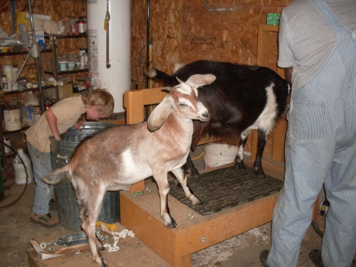 "Just because the milking is done doesn't mean chores are over. This is ""Sunny"", Billy's goat."