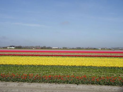 Leiden, Netherlands flower plantation, thirty minues away from Amsterdam