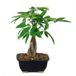 How to care for your money tree plant