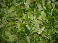 Freshly picked tea leaves