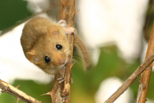 The cute common dormouse relies heavily on hazel huts. photograph by Bjorn Schulz.