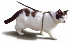 Teach a Cat to Walk on a Leash