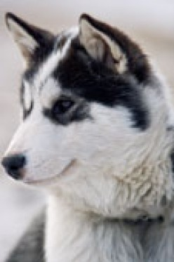 Understanding the Basics of Dog Sledding - Dogs and Sleds