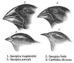 Some of the Galapagos finches which were so important to Darwin's thought