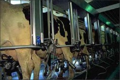 The Sad Life of Dairy Cows