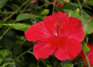 Hibiscus flowers have medicinal properties