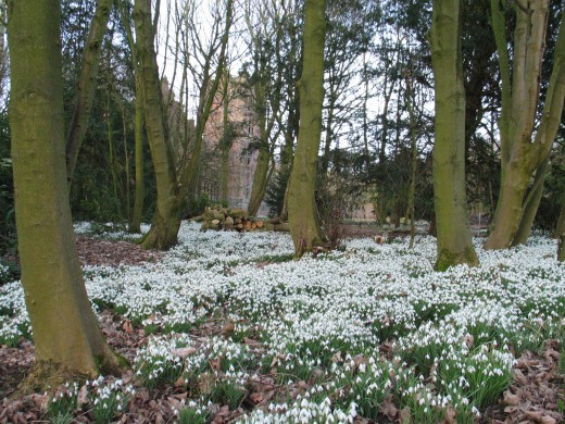Bankhall Bretherton has a fine display of snowdrops. Photograph courtesy of Bankhallbretherton {talk}