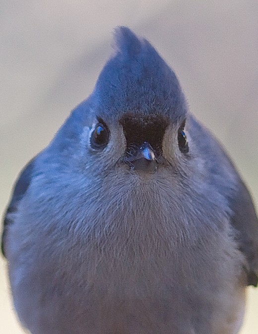 Titmouse with attitude