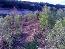 Grasses growing where the lake once was because the rains are watering the parched land.