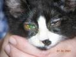 Treatment For Cat Weeping Eyes Herpes