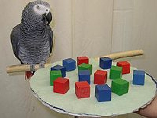 Alex Dr. Pepperberg's test parrot