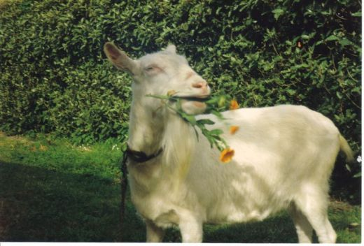 Trixie our goat.