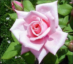 The rose by any other name..