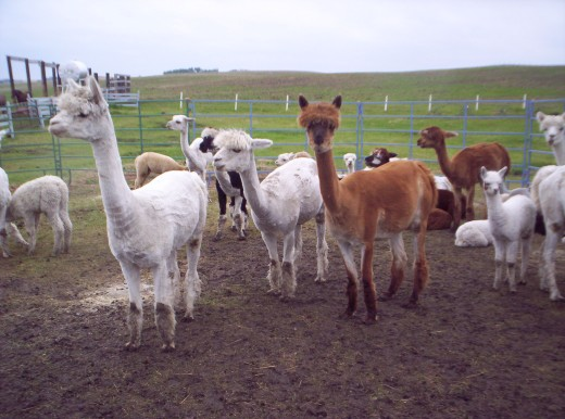 Newly shorn alpacas.