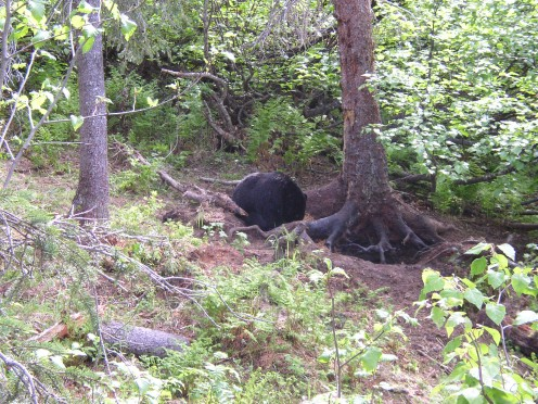 View of the bait station with a black bear