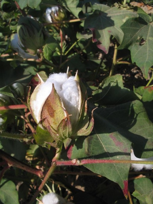 Cotton was grown for the women to spin