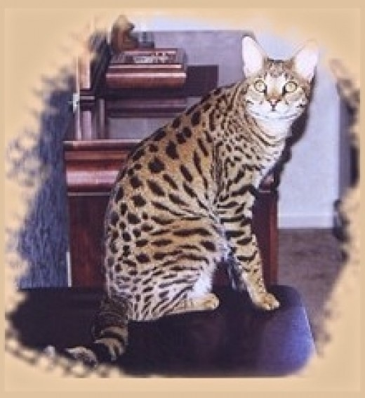 This beautiful Savannah cat is one that can be found at Select Exotics