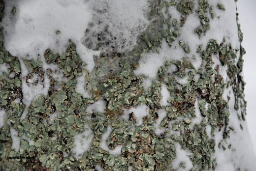Lichens on a red oak add a greenish-blue tinge to some of the trees in the yard.
