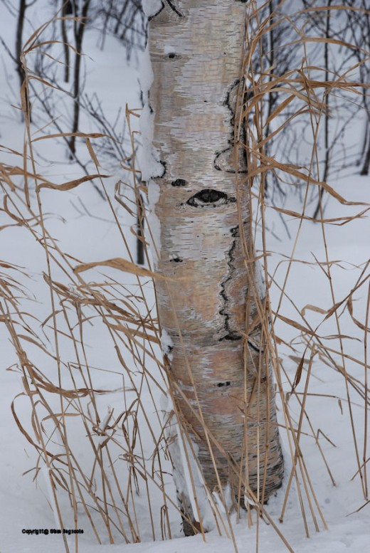 Birch are a common tree type in the Paradise area.