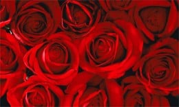 Red rose--the symbol of pure, romantic love