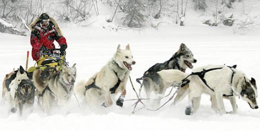 Iditarod Sled Dogs. The Iditarod Trail Dog Sled