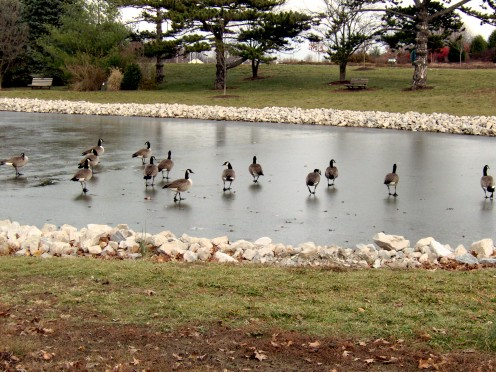 Ducks and Geese on a frozen pond, they have adapted well!