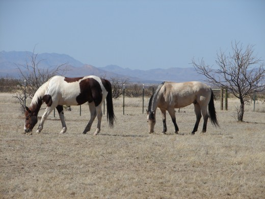 A paint (left) and a buckskin (right).