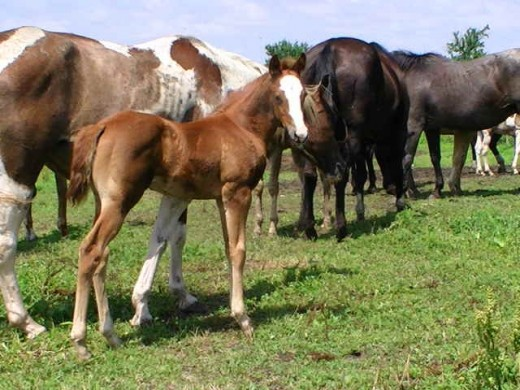 Diaman H Risky Malbec a 2009 Solid Paint Bred filly by Ris Key Business and out of a daughter of Docs Malbec. Plenty of pedigree here! Photo courtesy of owners Diaman H-home of Ris Key Business.