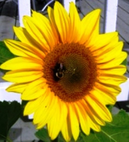 Bee and sunflower, Bob Ewing photo