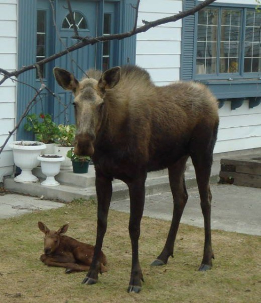 Do not mess with a mama moose.