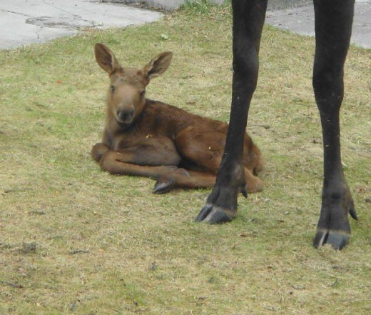 Baby moose is about 12 hours old.
