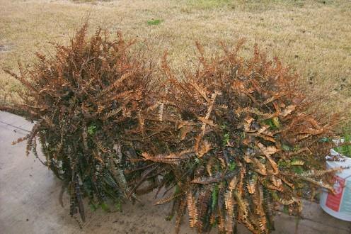 Oh my poor ferns!