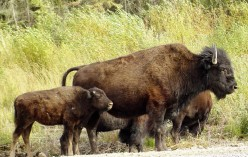 The smaller species of bison survived the mass extinction