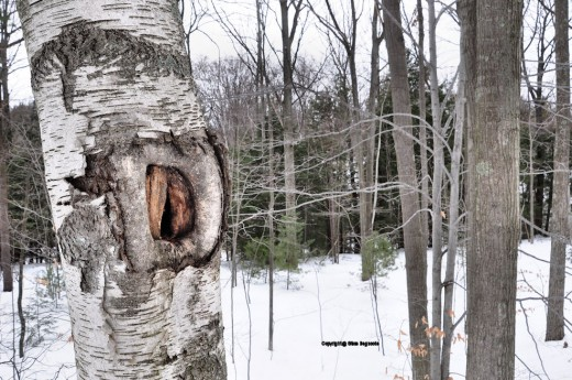 I've been checking on this hole in a birch in the woods. It appears something may be using it.