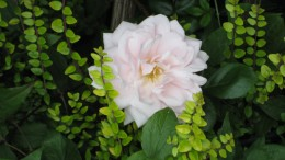 Photo: a rose