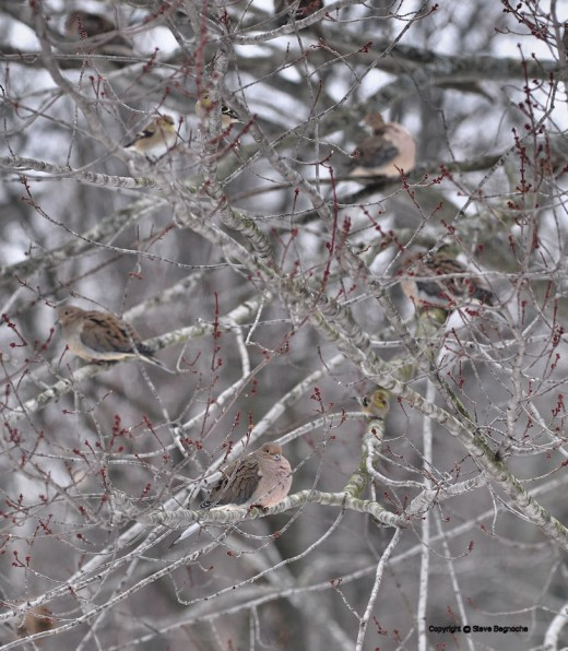 The maples branches hosted other birds, too,