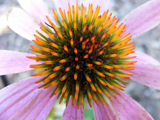 Coneflower, by touterse