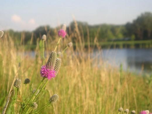 Purple Prairie Clover, by Blaine Hansel