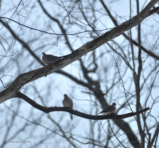 A trio of doves sit in an oak tree near the feeders. Like the gulls, they just sat and waited. Shoud these days be called the dove days of winter?