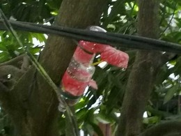 Fig 1: A bird house at a mango tree, in front of my house