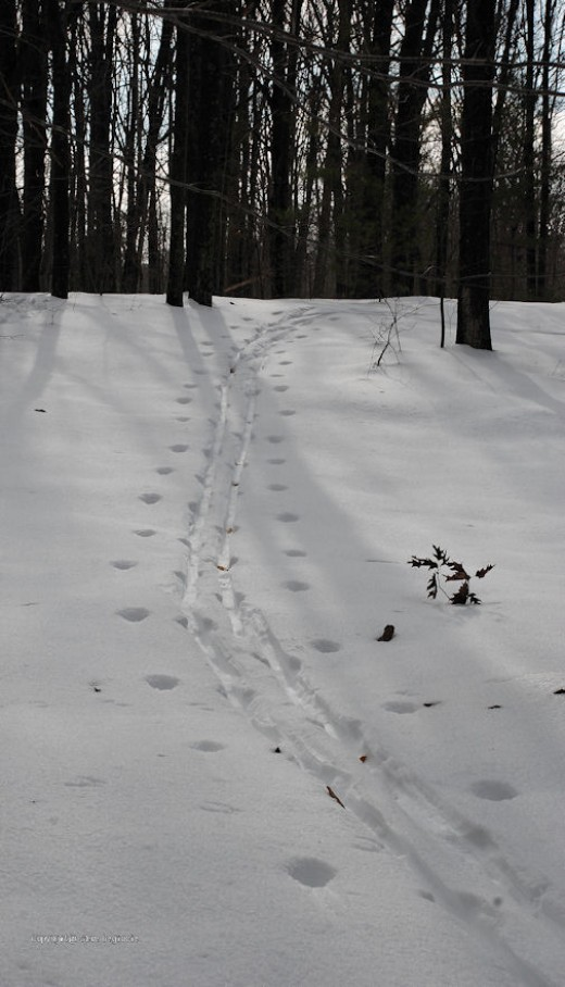 The poles and skis left distinctive marks long after a cross-country ski in the upper yard.