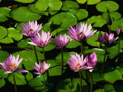 Water Lillys