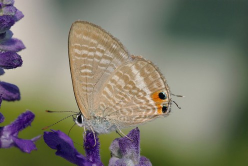 Lycaenidae visiting Lavender.  By Laitche, thank you for sharing it with the public.  A very beautiful picture.